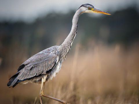 CZAPLA Ptak drapieżny fotografia przyrodnicza Piła