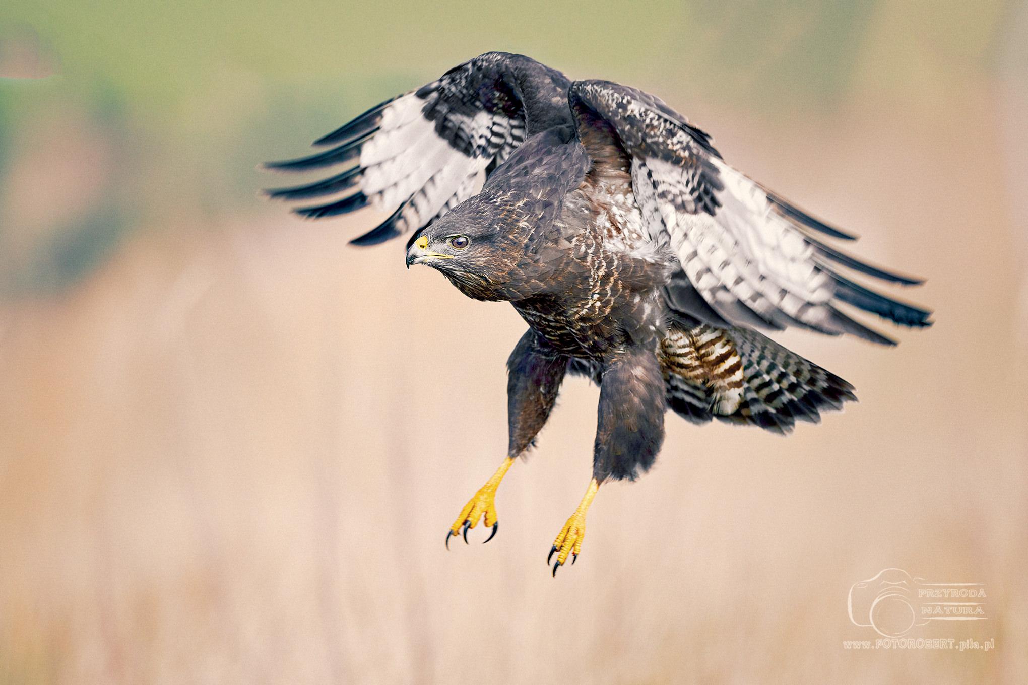 mysołów Ptak drapieżny fotografia przyrodnicza Piła