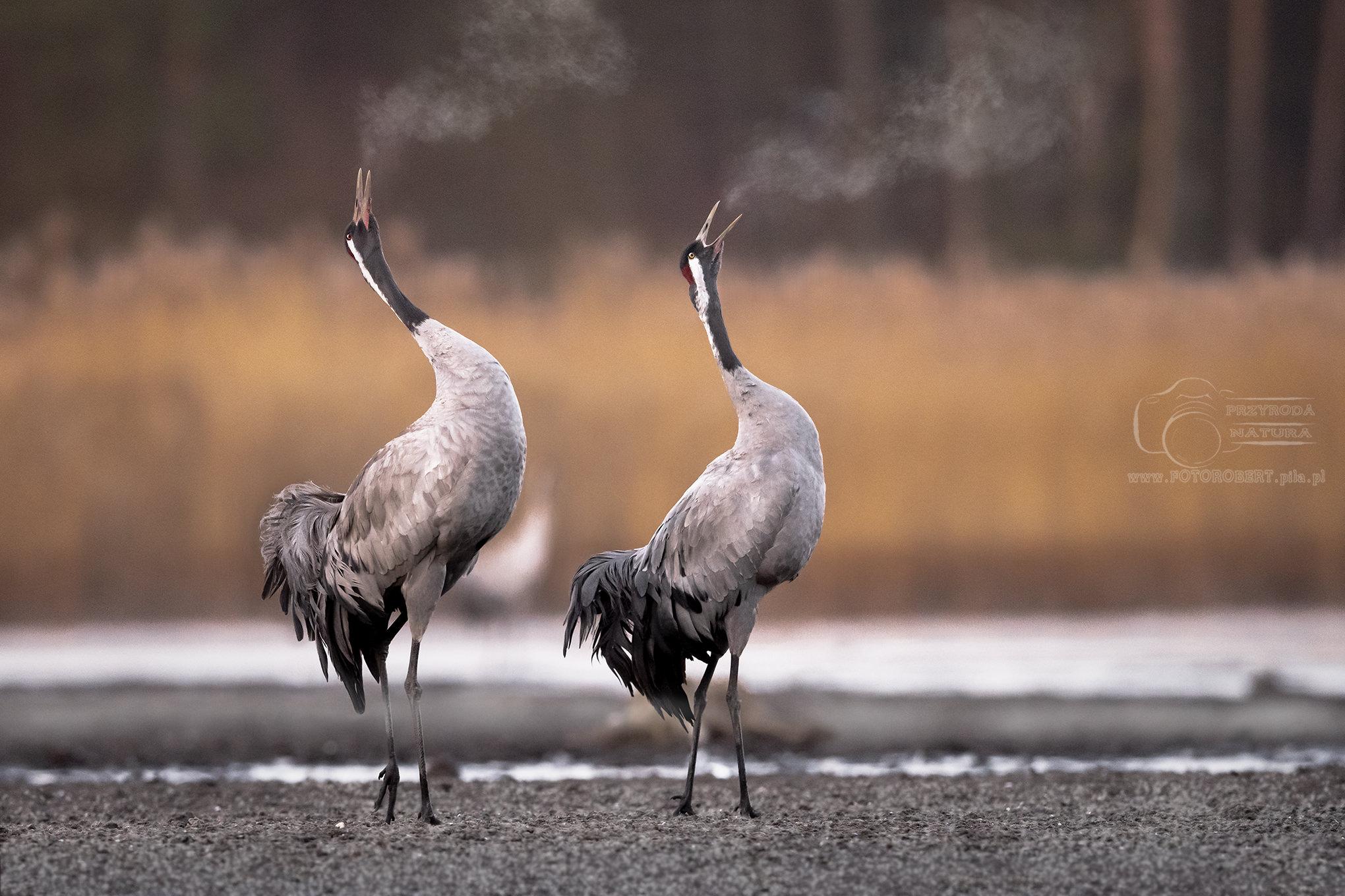 żurawie Ptak drapieżny fotografia przyrodnicza Piła