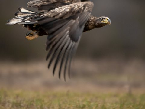 Bielik Ptak drapieżny fotografia przyrodnicza Piła