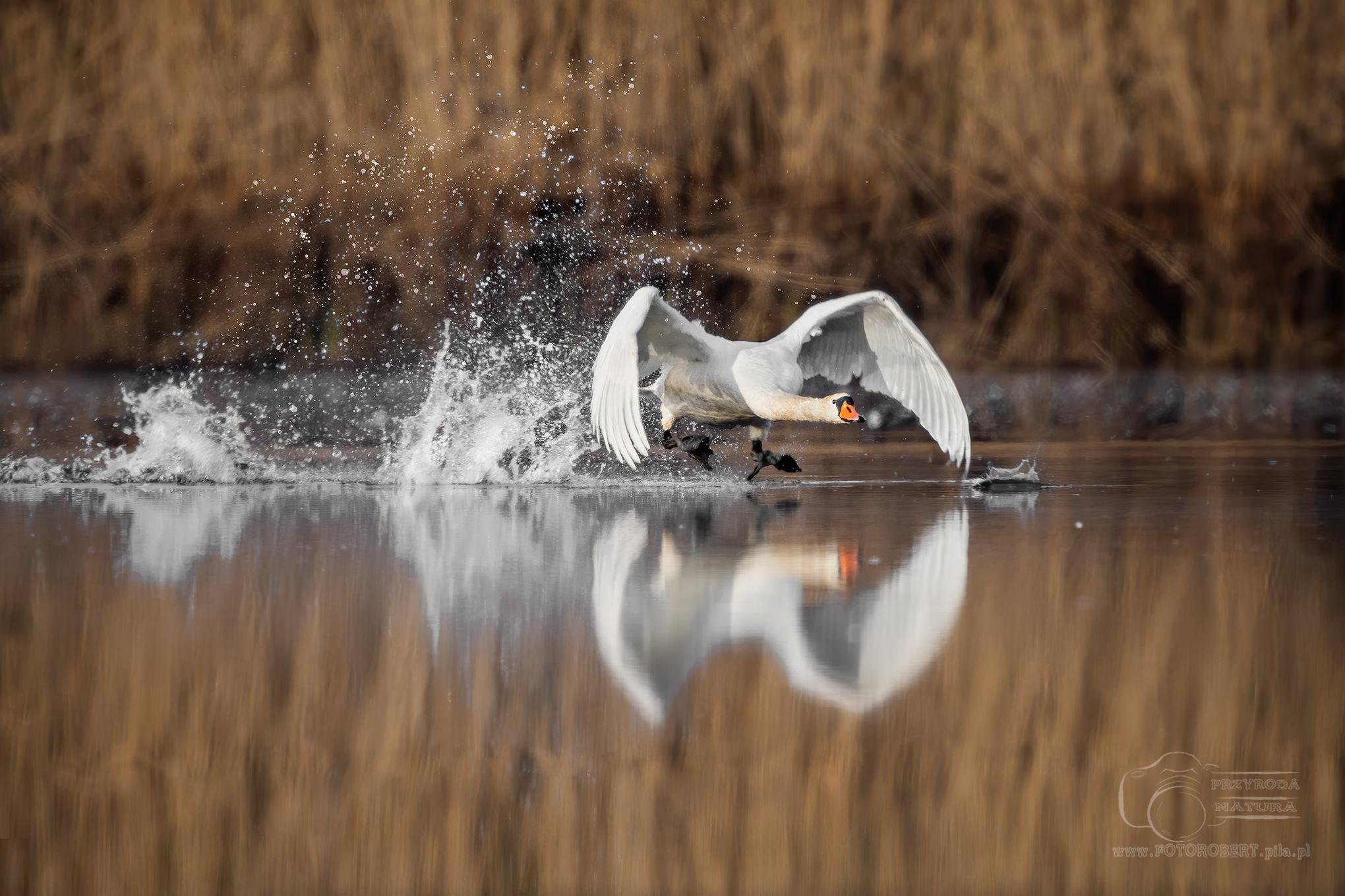 łabędź Ptak drapieżny fotografia przyrodnicza Piła
