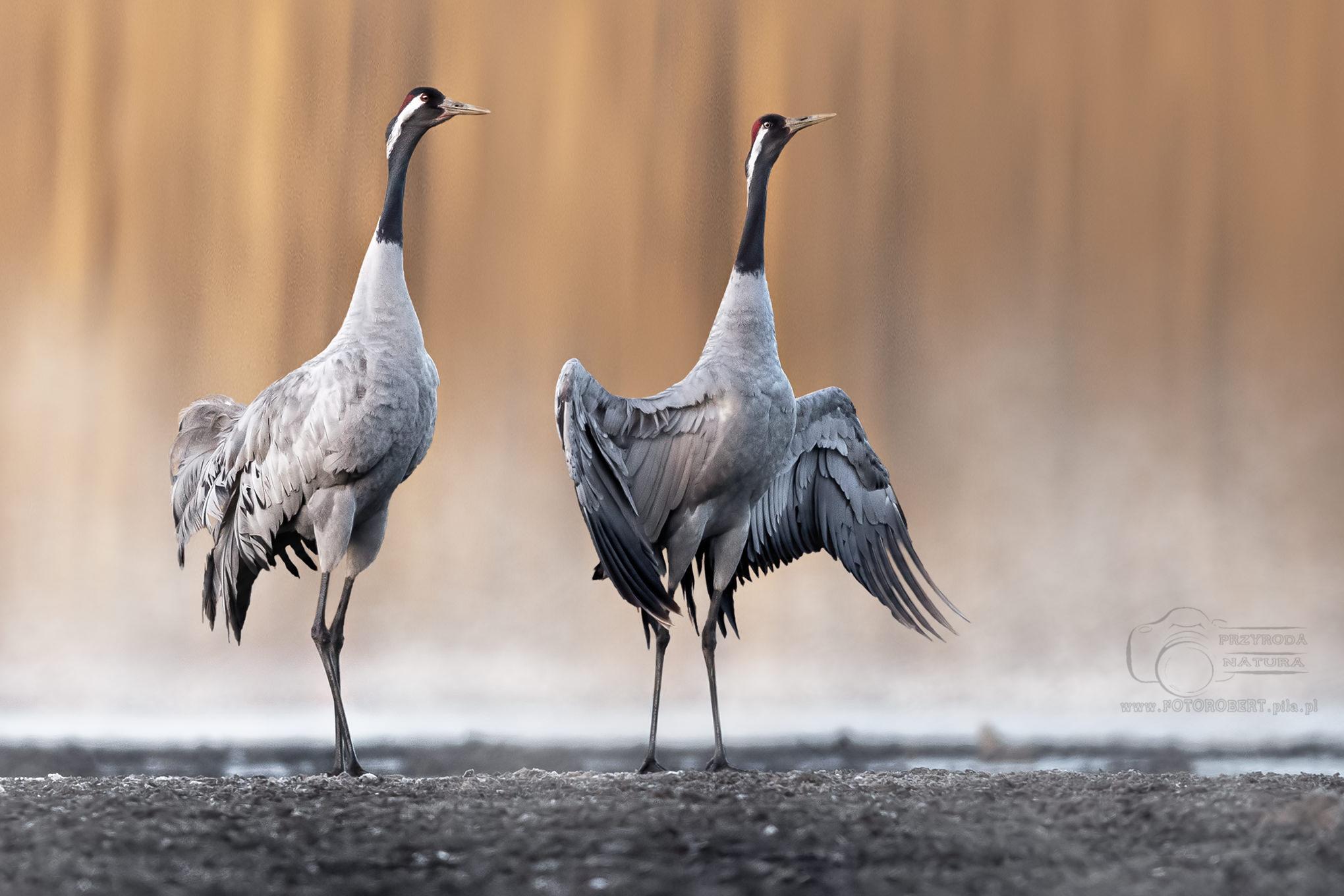 żuraw Ptak drapieżny fotografia przyrodnicza Piła
