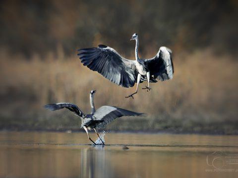 Czap[la Ptak drapieżny fotografia przyrodnicza Piła