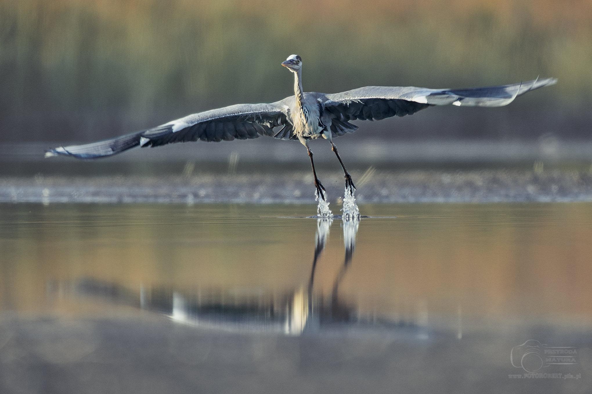 czapla siwa Ptak drapieżny fotografia przyrodnicza Piła