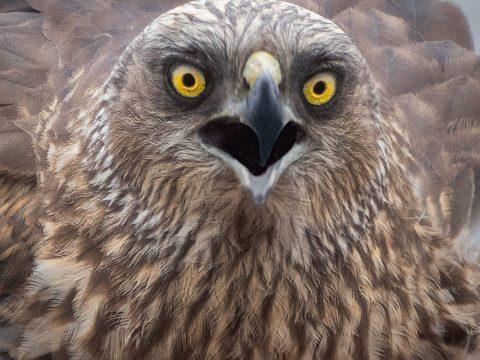 Ptak drapieżny fotografia przyrodnicza Piła