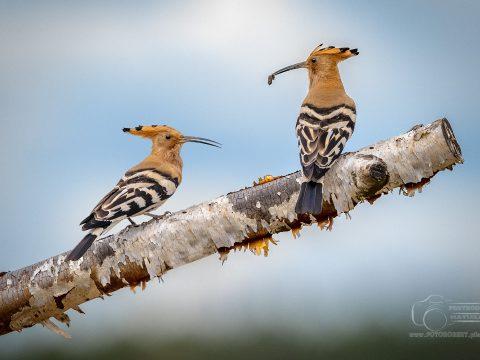 Zdjęcia ptaków Dudek